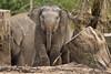 Asiatic elephant SUNAY (K.Verhulst) Tags: elephant rotterdam blijdorp olifant blijdorpzoo olifanten diergaardeblijdorp sunay asiaticelephants aziatischeolifanten