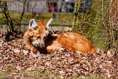 TiergartenNurnbergMrz11 056.jpg (jeolpe) Tags: tiere tiergarten raubtiere mhnenwolf nrnbergertiergarten landtiere 1homepage