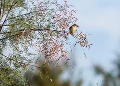 2015 dcembre, Voyage au Maroc (odileva) Tags: maroc oiseaux dcembre oualidia doukkalaabda pouillotdescanariesphylloscopuscanariensis