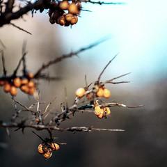 Berries - part 3 (Wouter de Bruijn) Tags: orange nature fruit bush berry berries bokeh depthoffield fujifilm shrub thorn xt1 fujinonxf90mmf2rlmwr