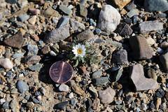White Woolly Daisy, Death Valley (2) (Bob Palin) Tags: california 15fav usa flower 510fav canon desert deathvalley 100vistas instantfave canonef24105mmf4lisusm flowerpicturesnolimits whitewoollydaisy thepoweroftheflower orig:file=2016012704470