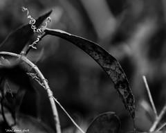 Dissidence (that_damn_duck) Tags: bw nature blackwhite leaf unitedstates southcarolina