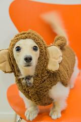 IMG_3393 (yukichinoko) Tags: dog dachshund 犬 kinako ダックスフント ダックスフンド きなこ