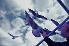 Из прве руке-From the right hand (Теодосије) Tags: sea seagull more grcka hrana море птица ptica galeb galebovi храна галеб грчка галебови