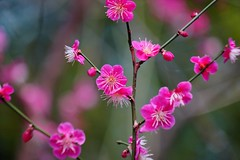 (nobuflickr) Tags: flower nature japan kyoto japaneseapricot  prunusmume   umenomiyajinja 20160302dsc02873
