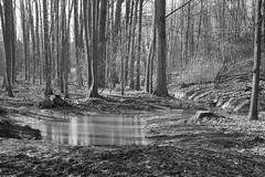 Puddle in the Woods (WrldVoyagr) Tags: blackandwhite bw germany de deutschland lumix panasonic nordrheinwestfalen werther gm5 pentaxtest wertherwestfalen
