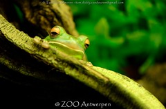 Witlipboomkikker - Litoria infrafrenata - White-lipped tree frog (MrTDiddy) Tags: white tree zoo boom frog lip antwerp wit antwerpen zooantwerpen kikker boomkikker litoria lipped infrafrenata whitelipped witlipboomkikker witlip