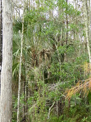 Corkscrew Swamp (Aldene.Gordon) Tags: florida swamp naples fl corkscrew sanctuary