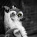 Lemur I