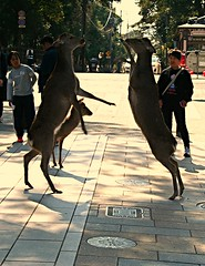 Deer-ty dancing (__Thomas Tassy__) Tags: world camera trip travel color art beautiful beauty japan canon wow wonderful fun photography eos 350d idea photo amazing cool nice fantastic perfect asia photographer shot superb artistic gorgeous awesome great creative picture atmosphere pic tassy best deer abroad stunning imagine moment nara capture inspire beau magnifique prise joli meilleur daim biche genial grandiose splendide