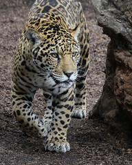 Confident One Year Old (Penny Hyde) Tags: cub bigcat jaguar sandiegozoo