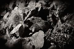 (carolus_croque) Tags: hojas virado