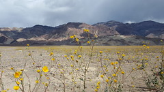 The super-bloom in Death Valley