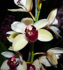 the 2016 pacific orchid exposition, Cymbidium (Yai 'Monica' x Pinata) orchid hybrid (nolehace) Tags: winter nolehace fz35 216 plant flower bloom cymbidium yai monica pinata orchid hybrid 2016 pacificorchidexposition pacific exposition sanfrancisco