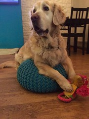 (psiortal.pl) Tags: dog dogs goldenretriever fun toy pies psy zabawka psiortal