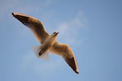 Seagull (Sreejesh Kalari Valappil) Tags: seagull creek dubai uae 50mm d7100 birds iamnikon ishootraw дубай