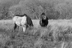 Horses (Shane Jones) Tags: horses horse nikon tregaron tc14eii corscaron 200400vr d7200