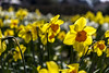 Holland - Narcissus Daffodil 2016-9 (robdeheer) Tags: flowers sun holland canon spring nederland thenetherlands explore daffodil paysbas zon bloemen narcis niederlande tegenlicht narcissen voorjaar bulbfields frühjahr hollanda frühlingszeit narcissusdaffodil updatecollection canon7dnoordholland
