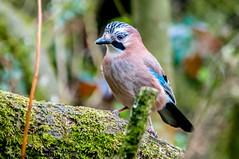 Jay (garrulus glandarius) (phat5toe) Tags: nature birds nikon jay wildlife feathers penningtonflash avian wigan d300 garrulusglandarius greenheart sigma150500