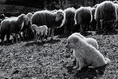 two small keepers (Alessio Pagani) Tags: dog dogs cane wolf guard emilia perro livestock prato bianco nero guardiano appennino lupo maremma agnello pecore pastore pascolo gregge agnelli maremmano ligonchio maremmani guardiania