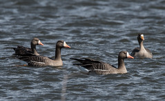 Greater White-fronted Goose (Anser albifrons) (mesquakie8) Tags: bird swimming illinois goose resting greaterwhitefrontedgoose anseralbifrons 9329 mcleancounty gwfg preeninginasmallroadsidepond