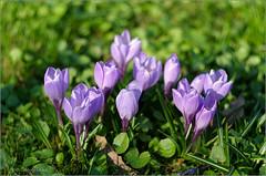 (tehhyvredina) Tags: flowers spring bokeh crocus helios    helios77m4  apothecarygarden fujifilmxe1