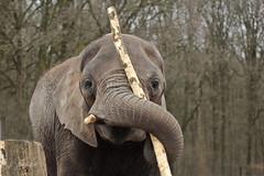 Afrikaanse olifant (K.Verhulst) Tags: elephant elephants rhenen africanelephant ouwehands ouwehandsdierenpark olifanten afrikaanseolifant
