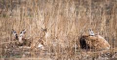 momandbabymulies (1 of 1) (MRGVA) Tags: animals wildlife deer d750 muledeer rockymountainarsenal youngdeer nikon200500f56