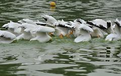 21626: american white pelican (Panegyrics of Granovetter) Tags: americanwhitepelican pelecanuserythrorhynchos