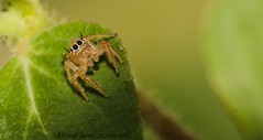 Jumping spider (Arvind_S) Tags: color green nature bug spider jumping ngc bugs chennai raynox mychennai arvindsundaraman
