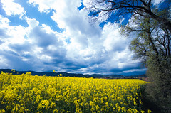 Campo de colza (manu torras) Tags: yellow amarillo nubes could lanscape colza