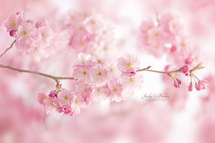 Subtle Spring (Jacky Parker Floral Art) Tags: uk pink flowers closeup outdoors blossom softness nopeople cherryblossom softfocus freshness springtime selectivefocus naturephotography macrophotography floralart fragility beautyinnature horizontalformat flowerphotography focusonforeground japanesefloweringcherrytree nikond750 spring2016