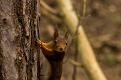Red Squirrel (mlomax1) Tags: red nature canon mammal squirrel wildlife redsquirrel formby eos600d