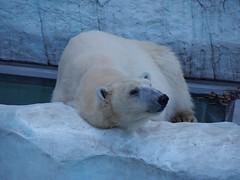 Dea (EmilyOrca) Tags: bear morning white animal mammal zoo marine sleepy polar