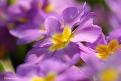 Primevres (didier95) Tags: macro fleur jaune bleu fleurbleue primevere