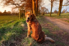 strike a pose at sunset (jeannie debs) Tags: sunset red pose golden spring joy retriever explore sonydscrx100m3