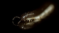 White-legged Snake Millipede (Tachypodoiulus niger) (markhortonphotography) Tags: macro reflection legs artistic surrey millipede isopod deepcut surreyheath blackglass tachypodoiulusniger whiteleggedsnakemillipede markhortonphotography thatmacroguy