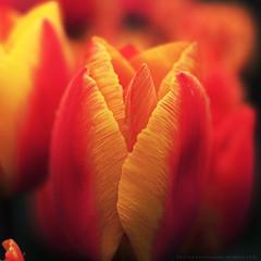 Tulipa (wimmerralf) Tags: flower macro dof bokeh tulip blte tulipa 25mm tulpe schrfentiefe geflammt lumixgx7