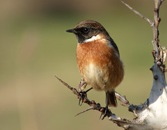 Stonechat (Peanut1371) Tags: brown white black bird chat stonechat nationalgeographicwildlife