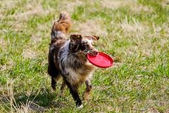 Jamie (unbunt.me) Tags: dog hund bordercollie aussie australianshepherd fujixpro2