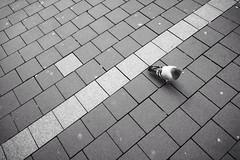 pidgeon crossing (tom_p) Tags: grey blackwhite bonn fuji noiretblanc stadt fujifilm taube pidgeon vogel x70 schwarzweis 123bw biancoetnero fujifilmx70