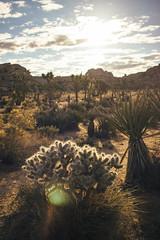 (hungryjewlz) Tags: california cactus cacti canon nationalpark desert joshuatree canonrebel chollacactus canonphotography vsco