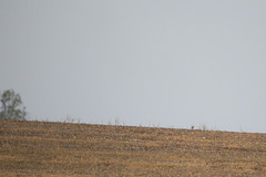 Horned Lark (wjshawiii) Tags: virginia unitedstates scottsville hornedlark fieldornithology