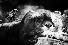 _DSC6137 (alessandro.spagnolli) Tags: zoo ngc natura tamronlens naturalistica lecornelle parcofaunistico sonyalpha77