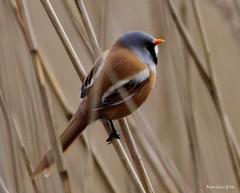 Baardmannetje mannetje (Bearded Reedling) (Martin van der Aa) Tags: natuur nature vogels birds bearded reedling