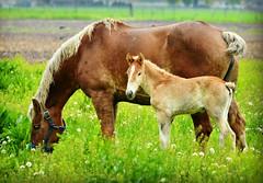 A Sunday Graze (forestforthetress) Tags: horses horse color green field animal rural nikon farm amishfarm omot