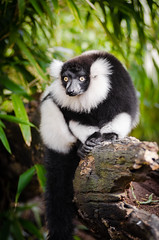 Black and white Ruffed Lemur (Mathias Appel) Tags: world red white black tree cute green eye feet blanco public leaves animal festival lady germany fur outside deutschland foot zoo eyes nikon noir day branch y bokeh background negro adorable blurred bamboo list lemur endangered augen tierpark et madagascar blanc auge var fell schwarz bianconero domain tier niedlich bambus weiser rufo svartvit fus vari ruffed iucn madagaskar schwarzweis wari lemuren critically lmur fse grn vareciapretoebranco