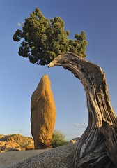 *The Obelisk* (albert.wirtz) Tags: california usa tree nationalpark unitedstates ngc obelisk kiefer baum kalifornien joshuatreenp littlestories theobelisk d700 nikond700 nikkor2470f28 picswithsoul onlyinvitedpics albertwirtz derobelisk