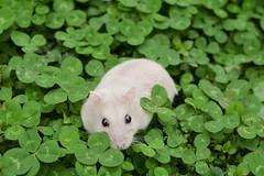 DSC_6639 () Tags: pet animal hamster   hammy