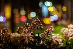 Street Weeds (Nikan Likan) Tags: street paris flower color night vintage lens photography 50mm prime blossom bokeh mount m42 manual f18 voigtlnder | 2016 colorultron